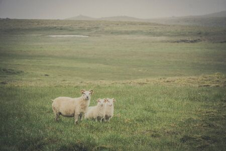 Icelandic sheep staring at the camera in a field Stock Photo