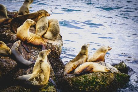 sea lions sun bathing on rocks Stock Photo