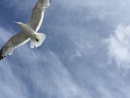 seagull flying from below Stock Photo