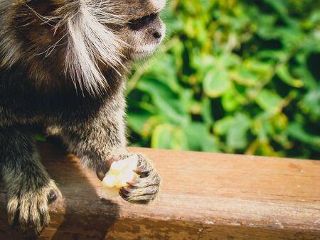 Small Monkey holding a piece of banana