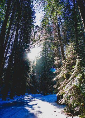 sunlight streaming through snowy trees Stock Photo