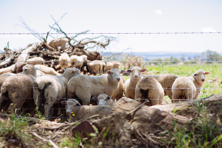 Australian Merino wool sheep farm located outside of Griffith, in New South Wales