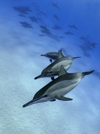 cetaceans: Dancing dolphins