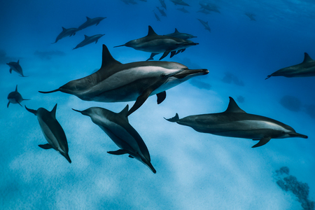cetaceans: Dolphin group