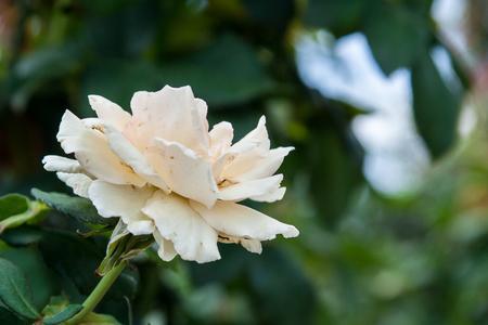 A  soft white rose 版權商用圖片