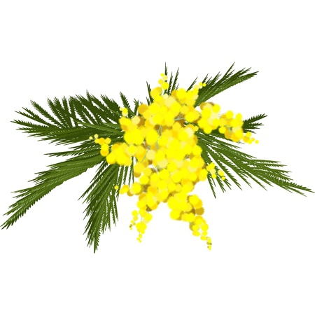 march 8: sprig of mimosa blossoms on an isolated white background, the traditional gift for March 8 Illustration