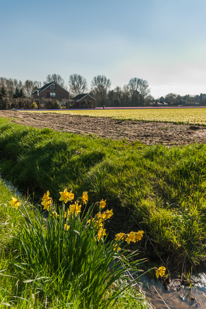 Some escaped daffodils look out over the flower fields