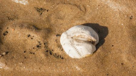 Sea urchin tests on the Northsea beach