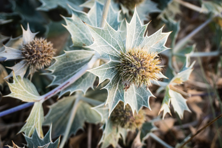 Even after the tiny blue flowers of Sea Holly have disappeared Banco de Imagens