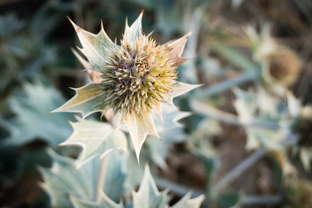 Single flowerhead of Sea Holly or Seaside Eryngo  (Eryngium maritimum) after the tiny blue flowers have disappeared. This Blue Seathistle is a protected plant in the Netherlands - Egmond aan Zee Banco de Imagens