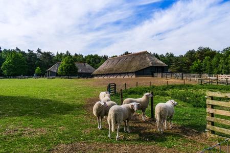 Veluwe sheep at sheep drift Ermelo, the Netherlands