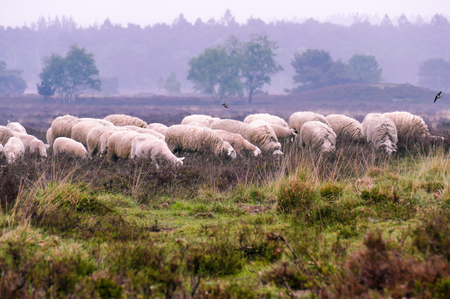 Flock of Veluwe Heath Sheep on the Ermelosche heide Editorial