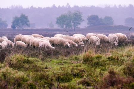 Flock of Veluwe Heath Sheep on the Ermelosche heide Sajtókép