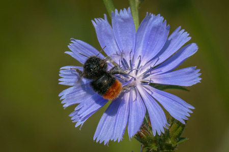 Red-tailed bumblebee on a single sky blue flower of common chicory. Фото со стока