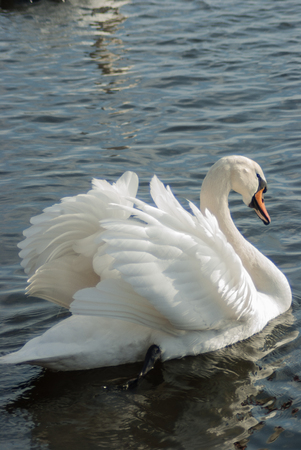 Mute swan courting, seen from the back