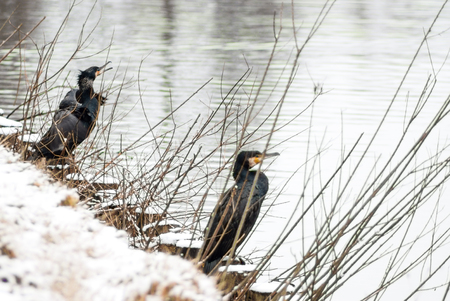 Two cormorants in the snow at the waterside
