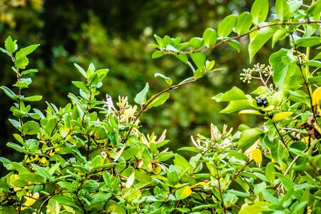 Autumn hedge of honeysuckle with flowers and berries