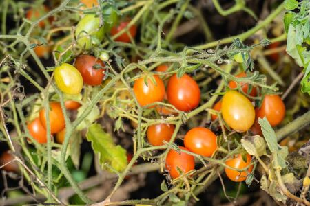 Little olive-tomatoes, ready to be picked Standard-Bild
