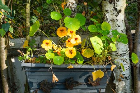 Black flower planter with orange flowers and green leaves of Indian cress, between white birch stams