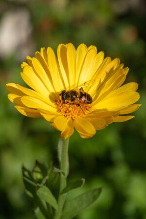 Hoverfly on marigold flower - portrait orientation