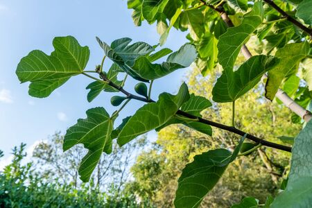 Fig tree branches with unripe fruits Standard-Bild
