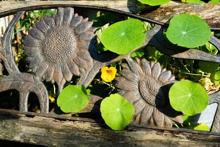 Indian cress flower and leaves penetrate through the cast iron back of the sunflower bench