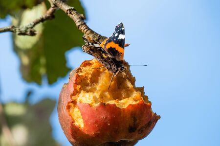 Atalanta butterfly on decaying apple in tree Standard-Bild