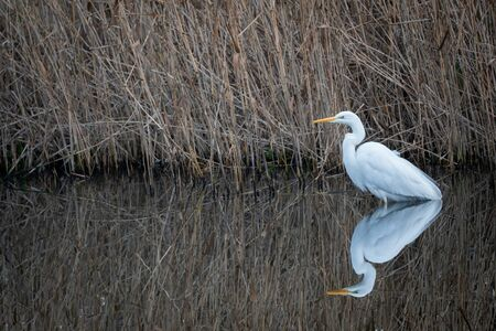 Reflection of a great white heron with yellow beak keeping watch near the reed fringes of a water stream. Bijlmerweide, Amsterdam, the Netherlands.