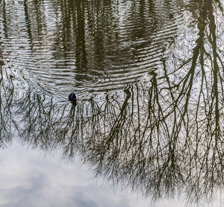 Eurasian coot swimming through the reflextion of bare trees and leaving a circular pattern on the watersurface