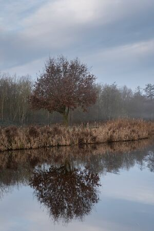 A lone little oak with brown winter leaves and reed fringes along the shore of the lake - reflecting in the water. Diemen Woods (Diemerbos), Diemen, The Netherlands.