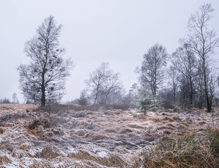 Witches broom birch and young pine in winter landscape Standard-Bild