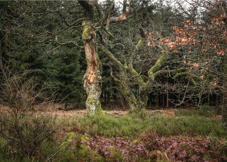 Two old and tortuous trees in the forest Standard-Bild