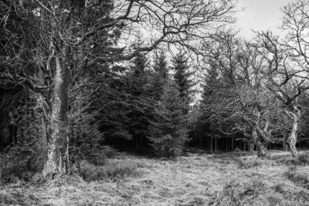 Open place in the pines forest with some old and kinky trees BW Standard-Bild