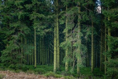 The mysterious depth of the pines forest. Photo made in the High Fens, Baraque Michel, Jalhay, Belgium. HDR