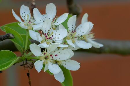 Branch with pear blossom. close-up/ macro. Spring in my dad's garden. Burst, Erpe-Mere, Belgium.
