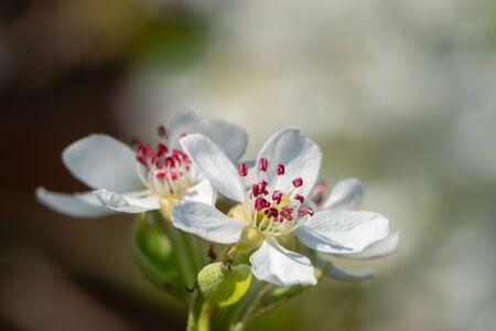 Deep pink stamens of pear blossom flower. Spring in my dad's garden. Burst, Erpe-Mere, Belgium. Standard-Bild