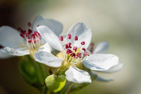 Pear blossom flower with deep pink stamens - macro. Spring in my dad's garden. Burst, Erpe-Mere, Belgium.