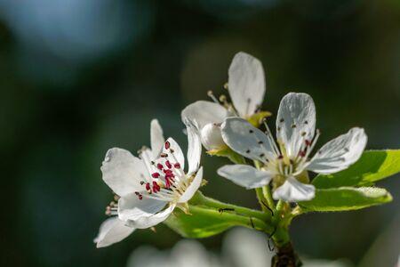 Pear blossom flower heads - bokeh. Spring in my dad's garden. Burst, Erpe-Mere, Belgium.