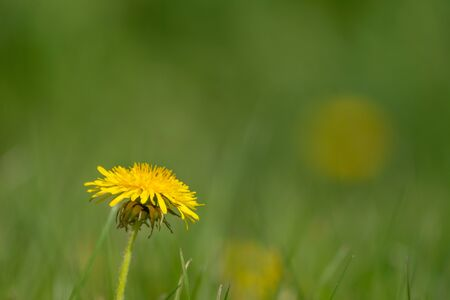 One dandelion flower in a lawn with many. Copy space. Spring in my dad's garden. Burst, Erpe-Mere, Belgium.