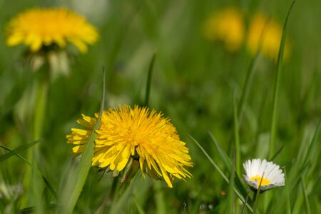 Dandelions and a daisy in the lawn. Spring in my dad's garden. Burst, Erpe-Mere, Belgium.