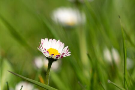 A white daisy with yellow heart and pink petal tips in the lawn - close up. Spring in my dad's garden. Burst, Erpe-Mere, Belgium.