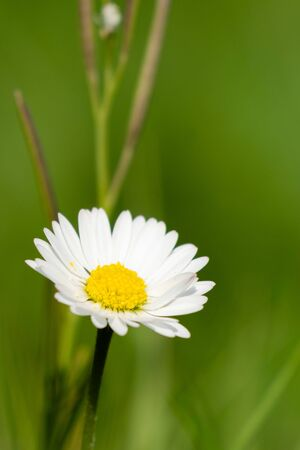 Single daisy with white petals and yellow heart on green background - copy space. Spring in my dad's garden. Burst, Erpe-Mere, Belgium.