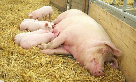 pigpen:  Pig
