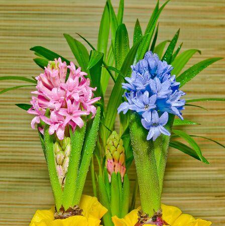 hyacinths: Hyacinths In Dew Stock Photo
