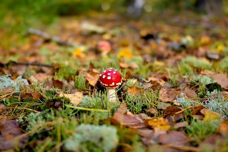 Fly agaric on a wood clearing photo
