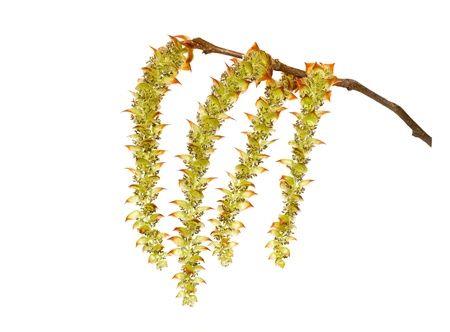 catkins: Hornbeam catkins on a white background