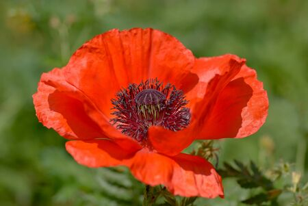red poppies on green field: Poppy flower in a meadow on a sunny day Stock Photo