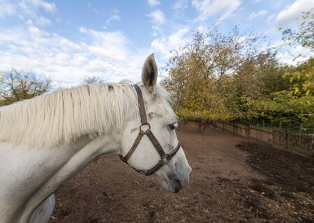 White horse grazing in the stable yard. Stable yard in the Museum-reserve Kolomenskoye. Manor house with exhibition rooms and saddlery workshop, a shed for storing harness and wagons, a complex of working stables, including the stable itself, a smithy, a hayloft and a house.