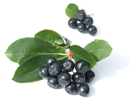 Black chokeberry (aronia) Stock Photo
