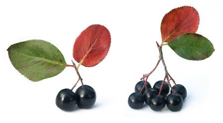 black chokeberry (aronia)